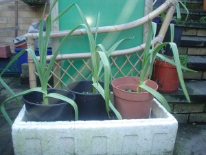 elephantgarlicplants